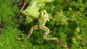 Frosch im freien Wasser Stockfoto