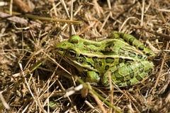 Frosch im Gras Stockbilder