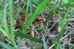 Frosch im Gras lizenzfreies stockfoto