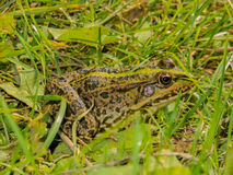 Frosch im Gras Lizenzfreie Stockbilder