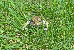 Frosch im Gras lizenzfreie stockfotos