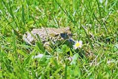 Frosch im Gras mit Gänseblümchen lizenzfreie stockbilder