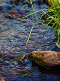 Frosch im kleinen Strom in Montana stockfotos