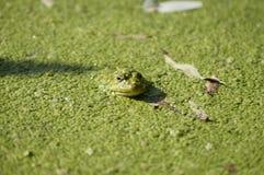 Frosch im Schlamm Stockbild