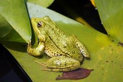 Frosch im See Stockfotos