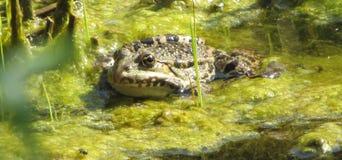 Frosch im See Stockfotografie