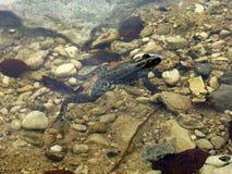 Frosch im seichten Wasser Stockfoto