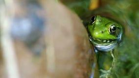 Frosch im Strom stock footage