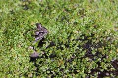 Frosch im Sumpf unter duckweeds Stockbild