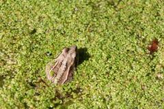 Frosch im Sumpf unter duckweeds Stockfoto