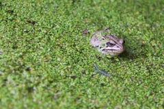 Frosch im Sumpf unter einer Entengrütze Stockbilder