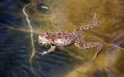 Frosch im Teich Stockbild