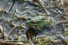 Frosch im Teich stockfotografie