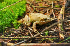 Frosch im Wald Lizenzfreie Stockbilder