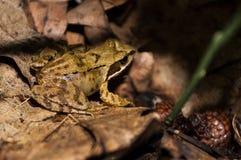 Frosch im Wald einer Stockfoto