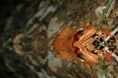 Frosch im Wasser lizenzfreie stockfotografie
