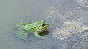 Frosch im Wasser stock video