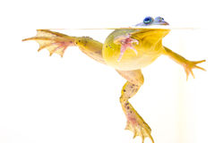 Frosch im Wasser lizenzfreies stockbild