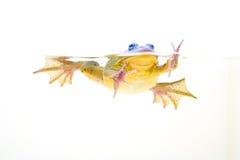 Frosch im Wasser stockfoto