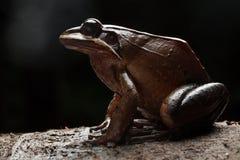 Frosch Leptodactylus rhodonotus stockfotografie