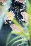 Frosch, Lithobates-clamitans, schwimmend in einem Sumpfgebiet Lizenzfreie Stockfotos