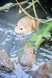 Frosch, Lithobates-clamitans, schwimmend in einem Sumpfgebiet Stockbild