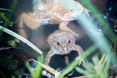 Frosch, Lithobates-clamitans, schwimmend in einem Sumpfgebiet Lizenzfreies Stockbild