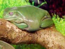 Frosch Lito des grünen Tees lizenzfreie stockbilder