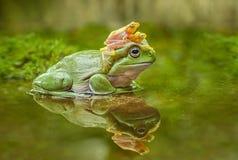 Frosch Litoria-caerulea Lizenzfreie Stockfotografie