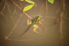 Frosch mit Endstück Stockfotos