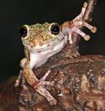 Frosch mit großen Augen Lizenzfreies Stockfoto