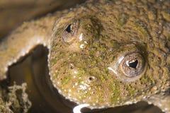 Frosch mit Herz-förmigen Augen Lizenzfreie Stockfotos