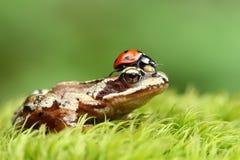 Frosch mit Marienkäfer Stockfoto