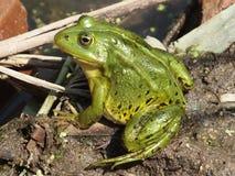 Frosch nahe dem Teich Lizenzfreie Stockfotos