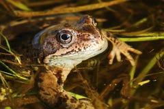 Frosch-Rana-temporaria lizenzfreies stockbild