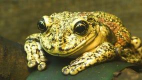 Frosch sitzt auf einem Blatt stock video
