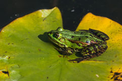Frosch sitzt auf Klette stockfotos