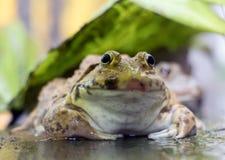Frosch sitzt unter einem grünen Blatt Stockfotografie