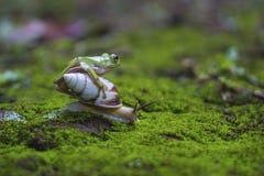 Frosch stieg über die Schnecke Stockfotografie