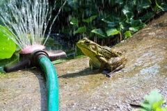 Frosch-Teich Stockbild