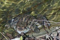 Frosch temporaria im klaren Fluss im Winter Stockfoto