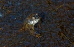 Frosch unter Fischeiern Lizenzfreie Stockfotografie