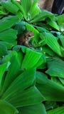 Frosch versteckt auf Wasserpflanzeglas Stockbild