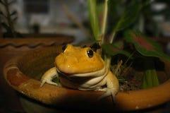 Frosch Whitey Golden (ist Name Koki) lizenzfreies stockbild