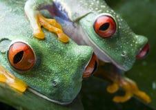 Frosch zwei Stockfoto