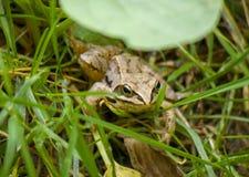 Frosch zwischen Gras lizenzfreie stockfotos