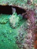Froschfisch ragt heraus vom Wrack empor Lizenzfreie Stockfotos