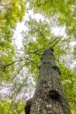 Froschperspektive des Buchenbaums Lizenzfreies Stockbild