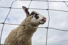 Froschperspektive eines Schafs gestaltet durch Drahtzaun lizenzfreies stockfoto