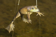 Froschporträt beim Betrachten Sie Lizenzfreie Stockbilder